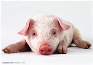 A solemn statement about the current rumors of the African swine fever vaccine